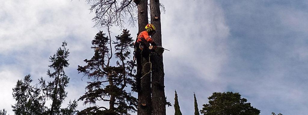 Фото спила аварийного дерева